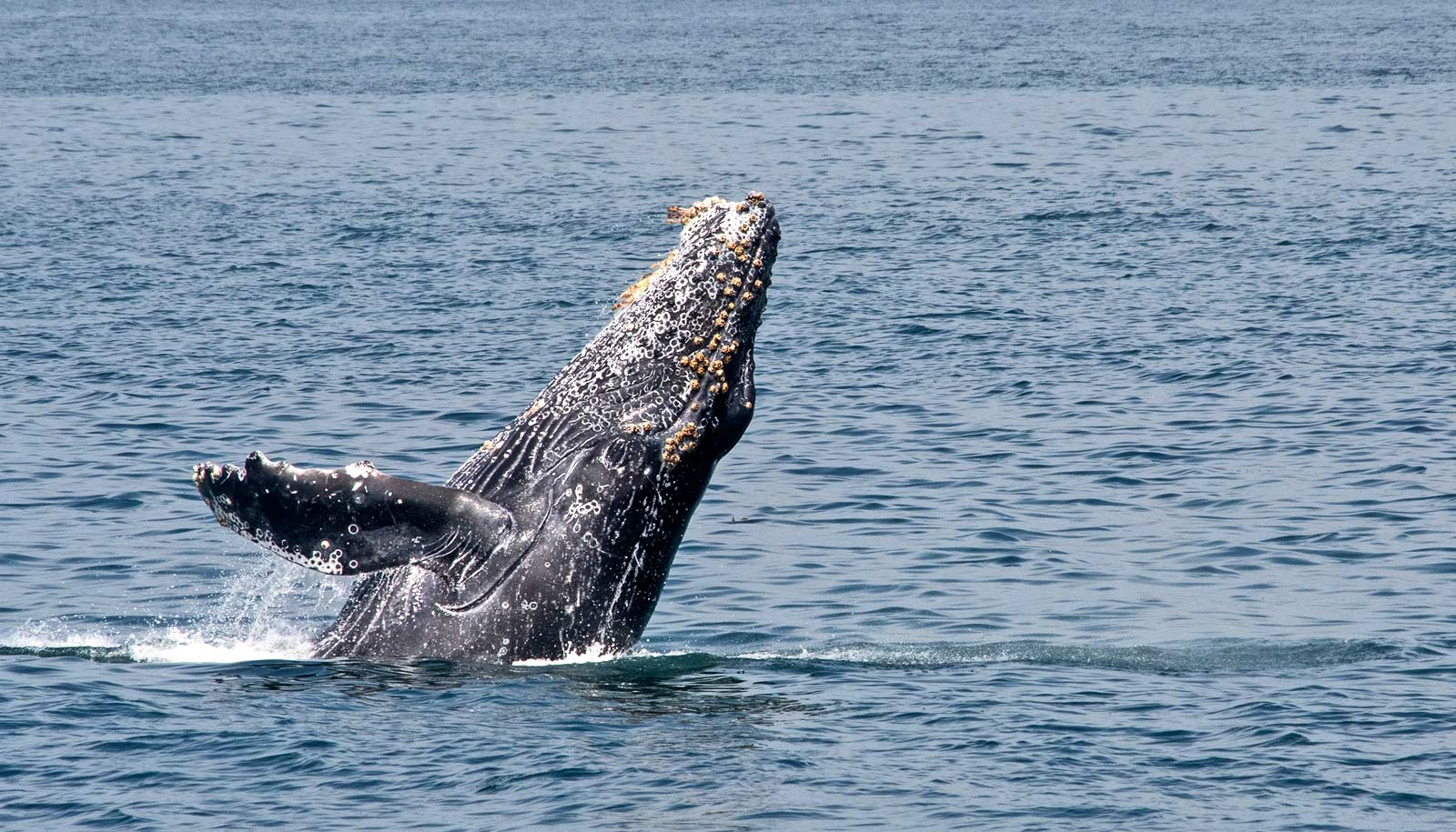 A-New-Study-Suggests-Whale-Migrate-to-Keep-Their-Skin-Healthy